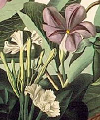Fragment of an engraving by John James Audubon
